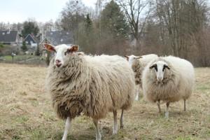 Auch diese Schafe sind Eigentum und werden ausgebeutet